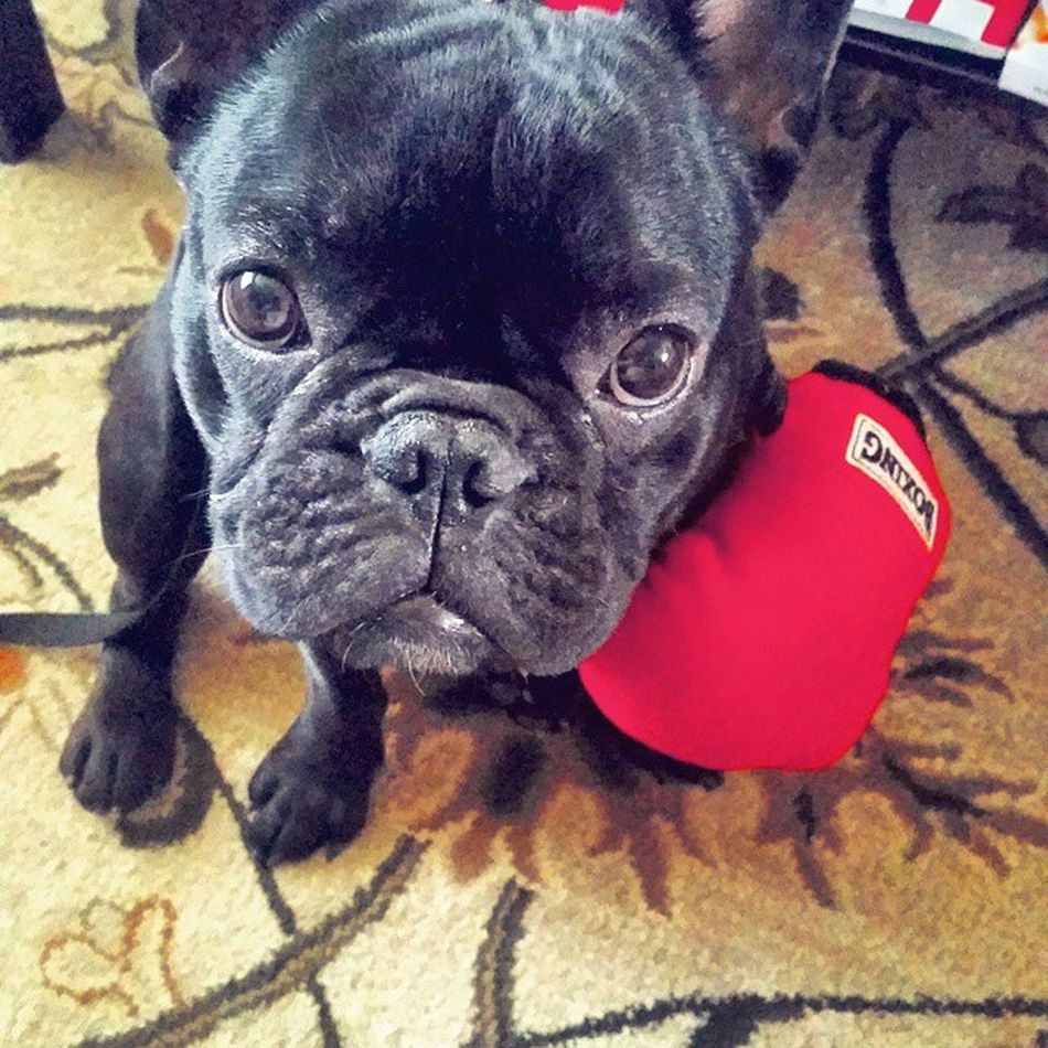 Onyx is ready. Lets go manny!!! Themannyteam Frenchbulldog Mannypacquiao