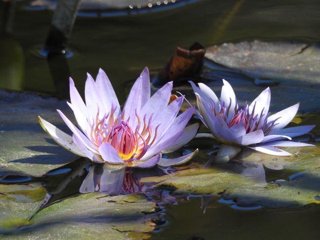 Breathing in - Water Lilles Purple Flowers Mercer Arboretum Botanical Gardens, HumbleTexas