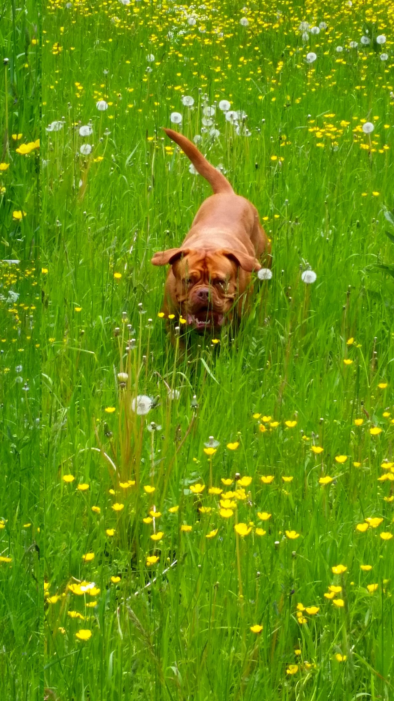 Dogs Bordeauxdog Spring Has Arrived Spring Flower Collection Dog In Field EyeEm Nature Lover Check This Out Happy Dog Running Trough The Field Dog Love Dog Of The Day Showcase February Phone Photography EyeEm Best Shots Taking Pictures Amazing Dog Field Of Flowers Running Dog Spring Flowers Springtime