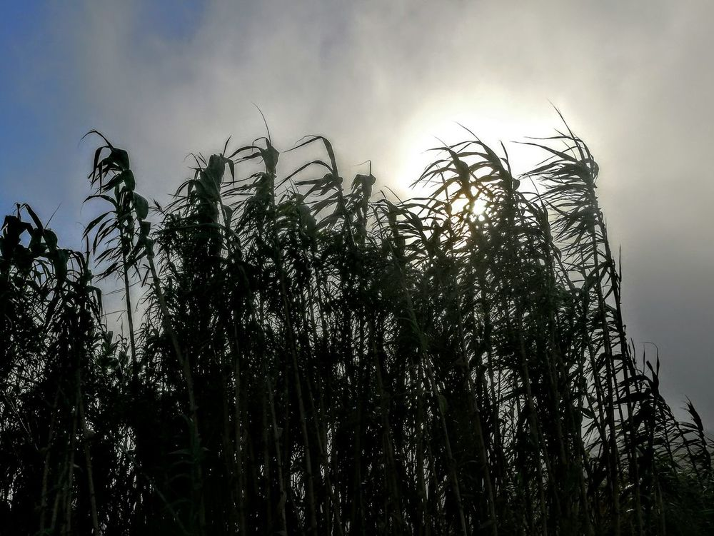 Plants Silhouette Sky Nature Plant Beauty In Nature Tranquility Fog Foggy Day Sun Low Angle View Silhouette Sky Nature Plant Beauty In Nature Tranquility Scenics Tranquil Scene Outline Outdoors Cloud Tall Day Fog Bank