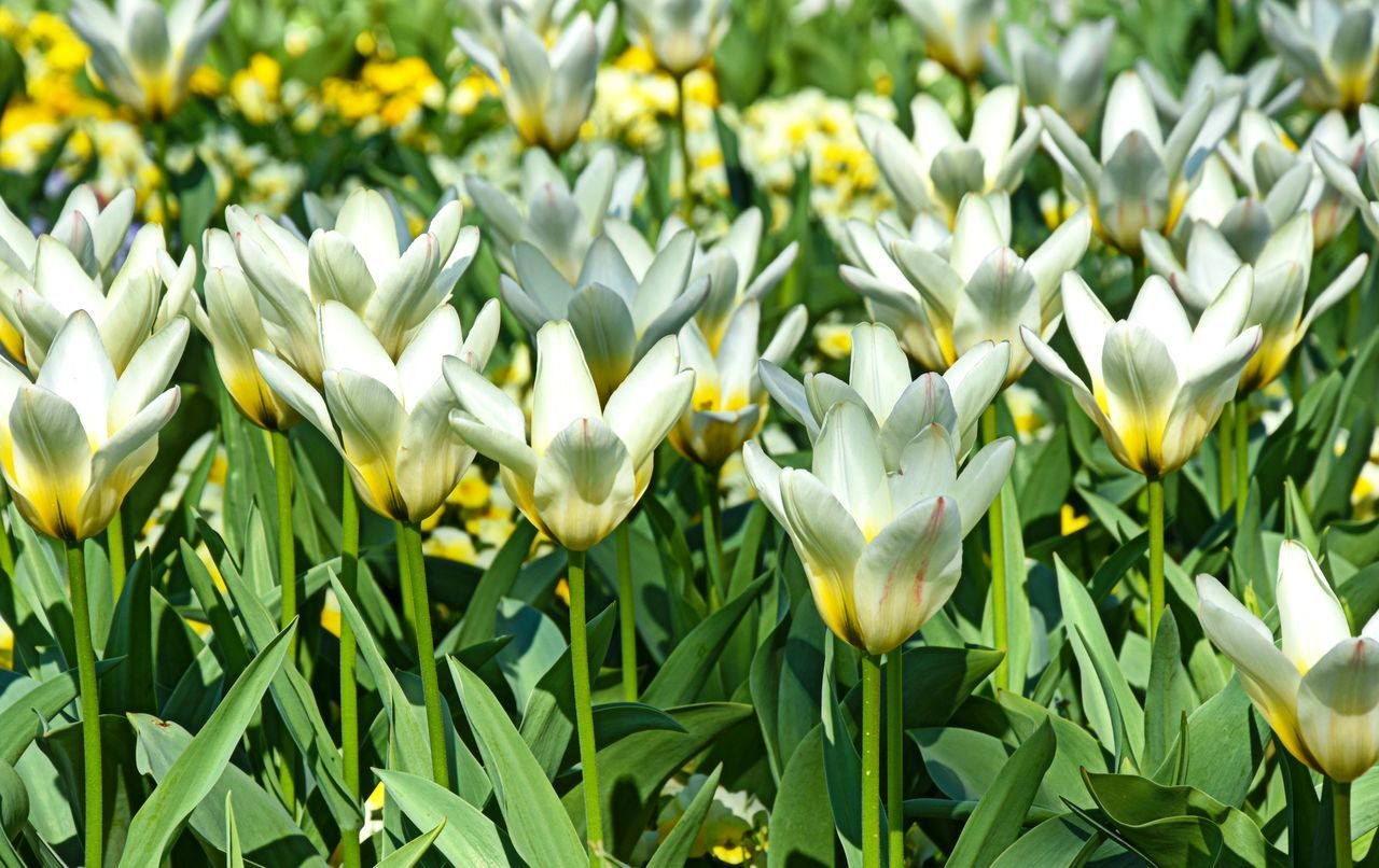 Beauty In Nature Blooming Close-up Day Field Flower Fragility Freshness Green Color Growth Nature No People Outdoors Plant Tulpen Yellow YellowWhite