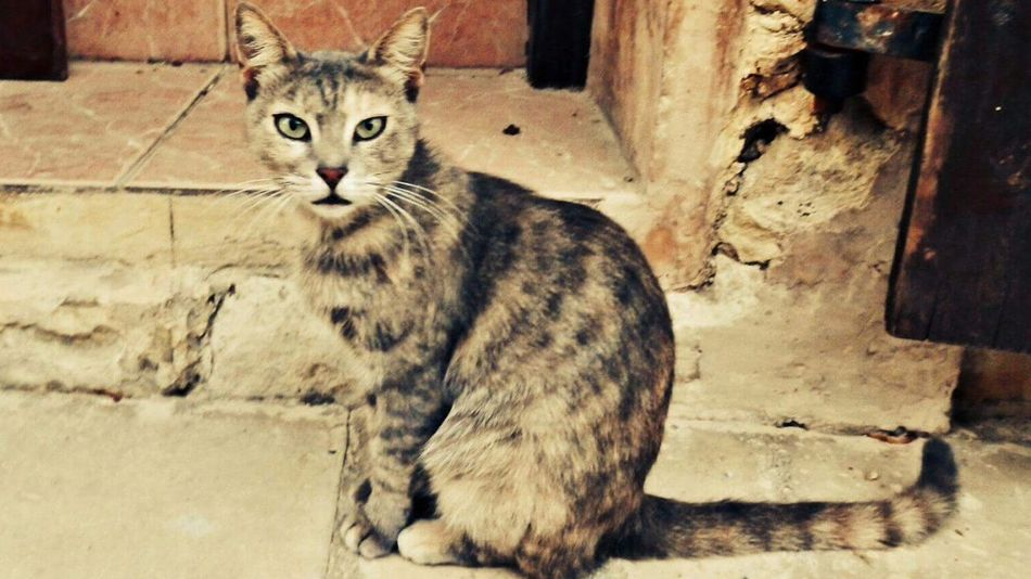 Cyrpus Cyprus Cat Feral Cat Cats Eyes Cats