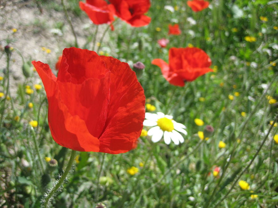 Amapola Amapolas Amapolas Rojas Beauty In Nature Blooming Close-up Flower Flower Field Flower Head Fragility Freshness Growth Nature Outdoors Petal Plant Poppy Red