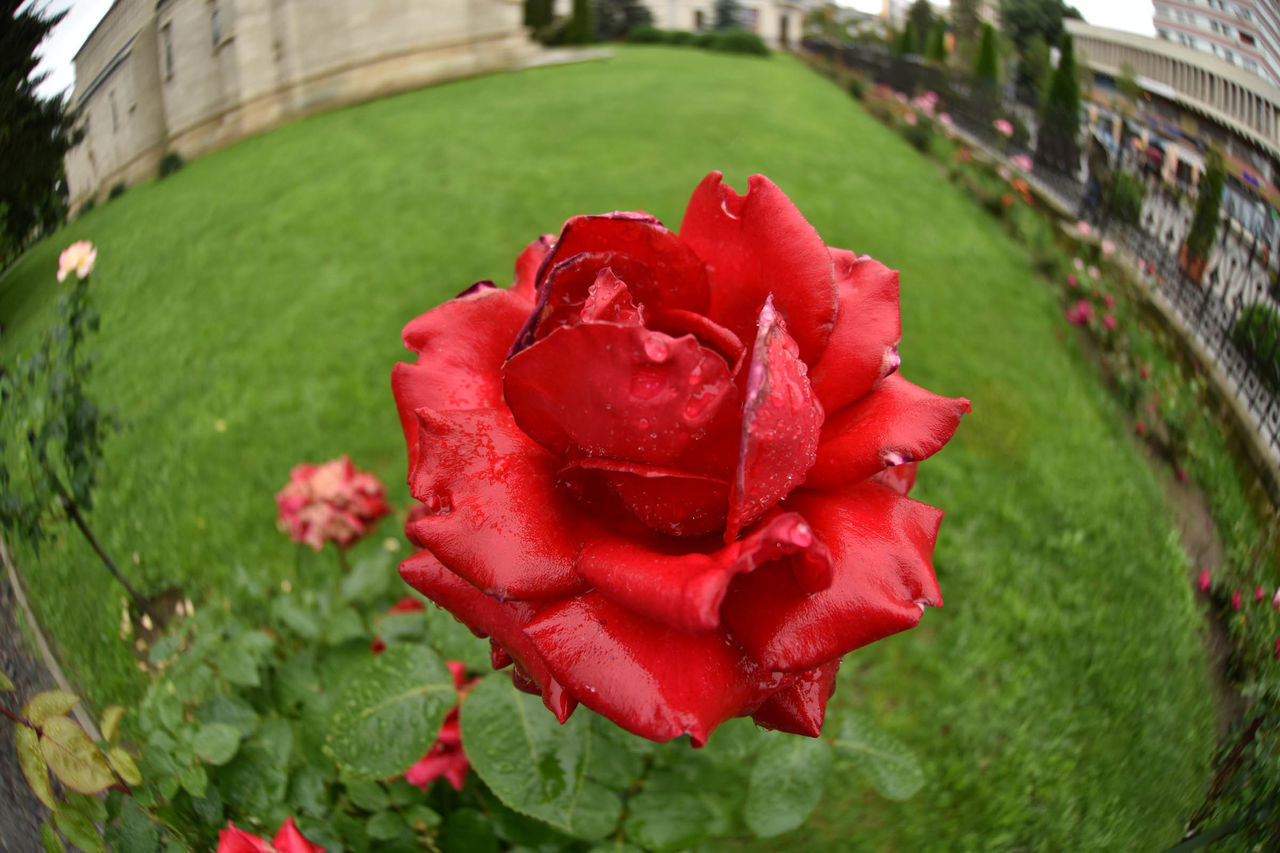 Breakfast Color Different Is Better . ❤ Flowers Freshness Outdoors Peace Plant Rain Rain Kisses Raind Drops Raind Drops On Roses Rainy Days Summer