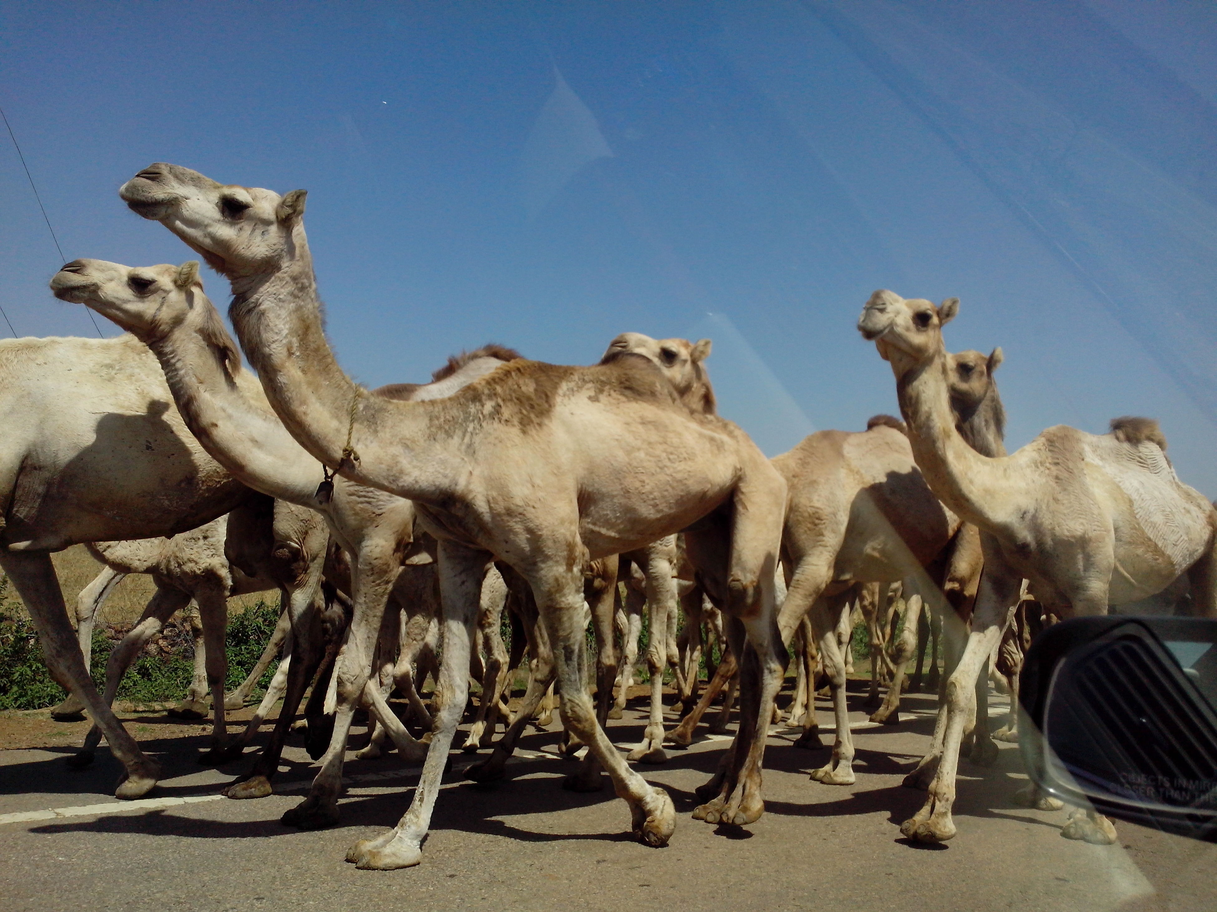 animal themes, mammal, livestock, domestic animals, camel, horse, clear sky, herbivorous, medium group of animals, two animals, three animals, sunlight, animals in the wild, wildlife, day, outdoors, togetherness, safari animals, animal family