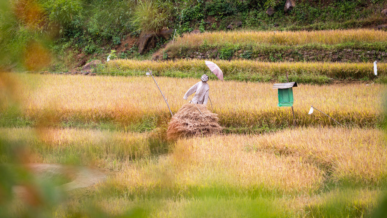 Scarecrow with parasol on a paddy field in Sri Lanka Agriculture Bird Scarer Birds Ella Field Focus On Background Food Harvest Nature Outdoors Paddy Paddy Field Plants Rice Rice Field Rice Paddy Rice Terraces Scarecrow Sri Lanka Sri Lankan Strawman Tourism