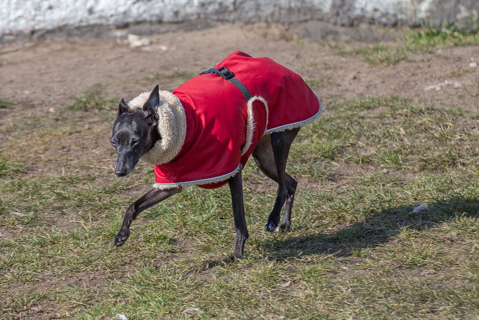 Animal Themes Day Dog Dog Clothes Dog Coat Domestic Animals Grass Humamize Humanization Nature No People One Animal Outdoors Pet Clothing Pet Collar Pets Present In Human Form Whippet