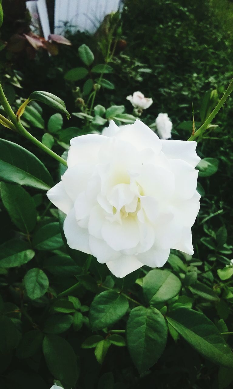 flower, white color, petal, day, plant, nature, growth, beauty in nature, close-up, flower head, fragility, no people, outdoors, leaf, freshness, blooming