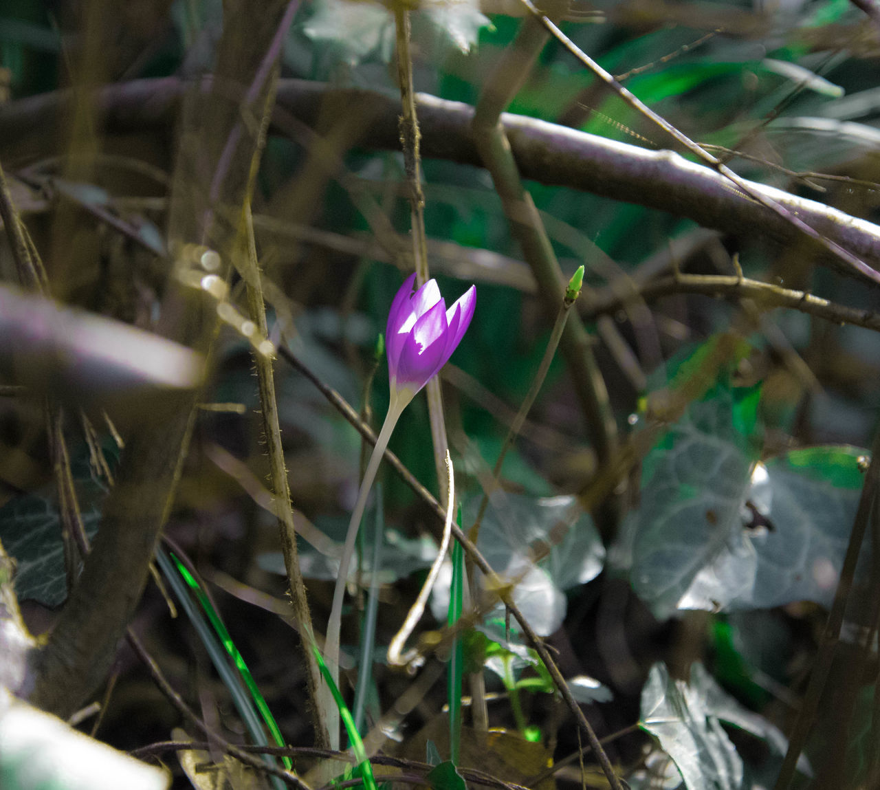 #crocus Beauty In Nature Blooming Close-up Crocus Day Flower Flower Head Fragility Freshness Growth Nature No People Outdoors Petal Plant