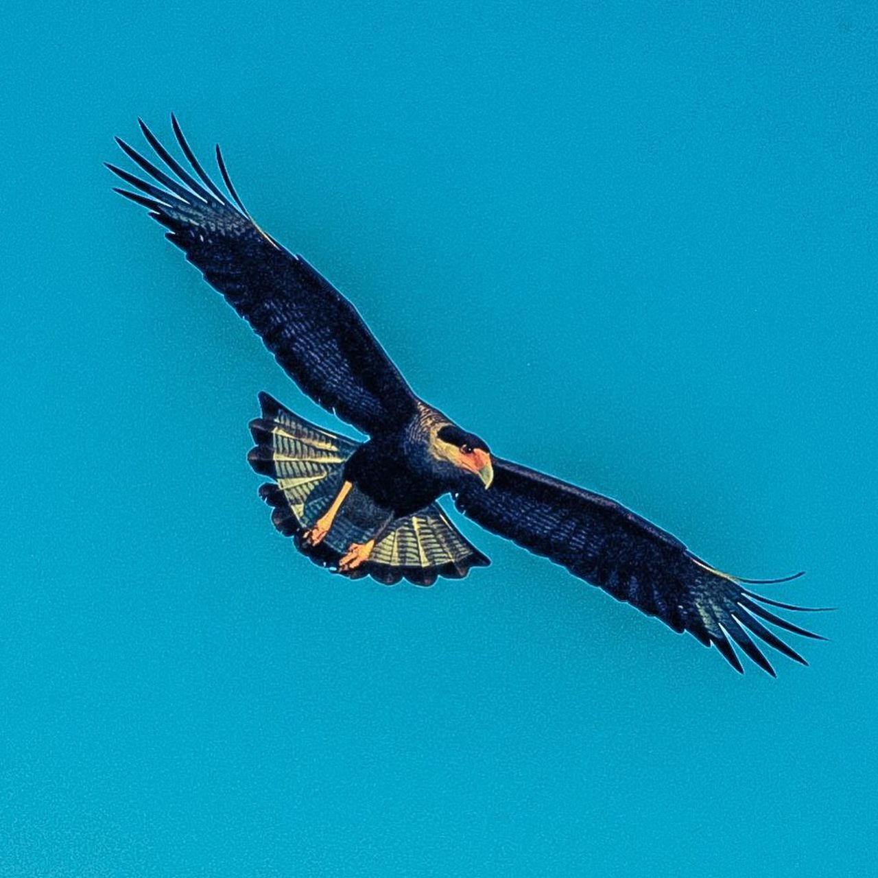 bird, flying, blue, one animal, spread wings, animals in the wild, animal wildlife, clear sky, animal themes, mid-air, nature, no people, outdoors, bird of prey, day