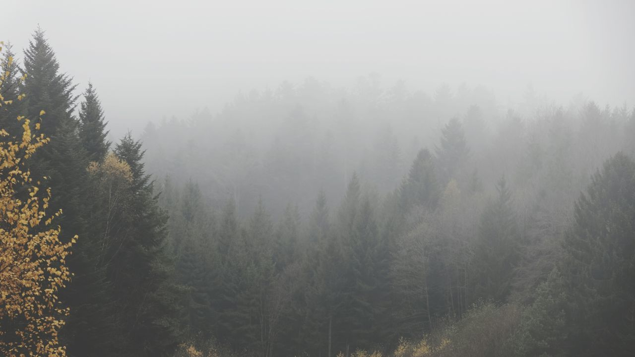Heavy fog over the forest Fog Tree Forest Nature Landscape Pinaceae Pine Woodland Pine Tree Condensation Water Atmospheric Mood Scenics Beauty In Nature Sunset Outdoors Winter No People Lush - Description Day EyeEm Nature Lover