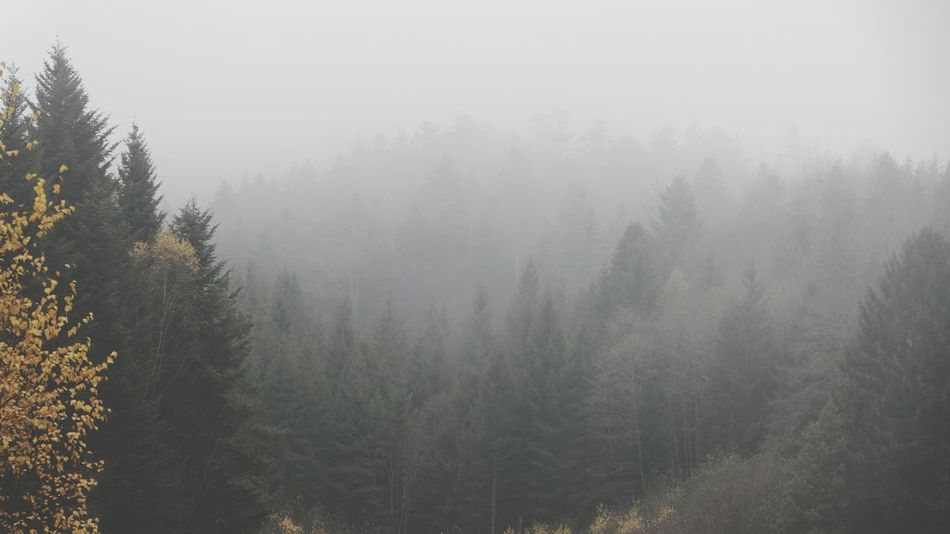 Heavy fog over the forest Fog Tree Forest Nature Landscape Pinaceae Pine Woodland Pine Tree Condensation Water Atmospheric Mood Scenics Beauty In Nature Sunset Outdoors Winter No People Lush - Description Day EyeEm Nature Lover Miles Away