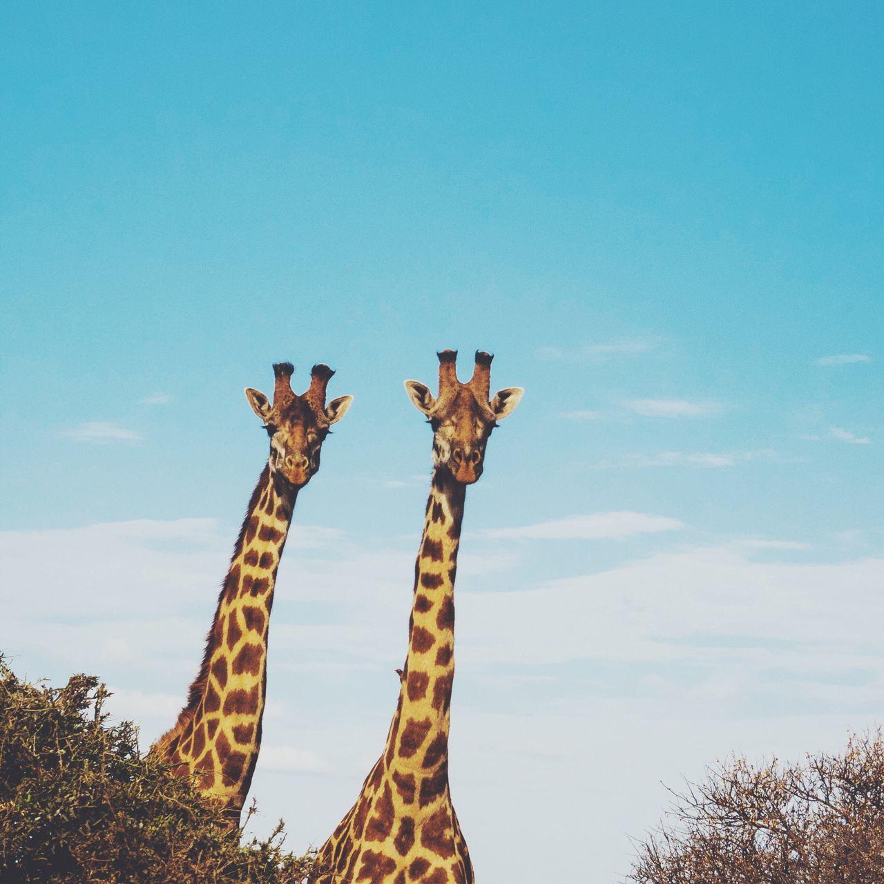 Beautiful stock photos of giraffe, Animal Themes, Animal Wildlife, Animals In The Wild, Copy Space