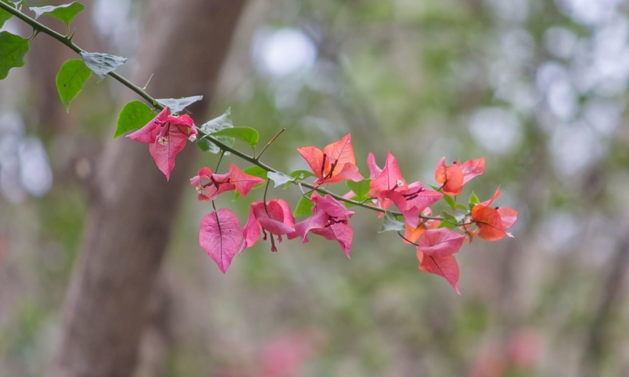 A branch of pink bougainvillea flowers with blurred background. Pink Color Flower Leaf Nature Autumn Tranquility Beauty In Nature Branch Growth Bougainvillea Flowers Blurred Background Bokeh BYOPaper!