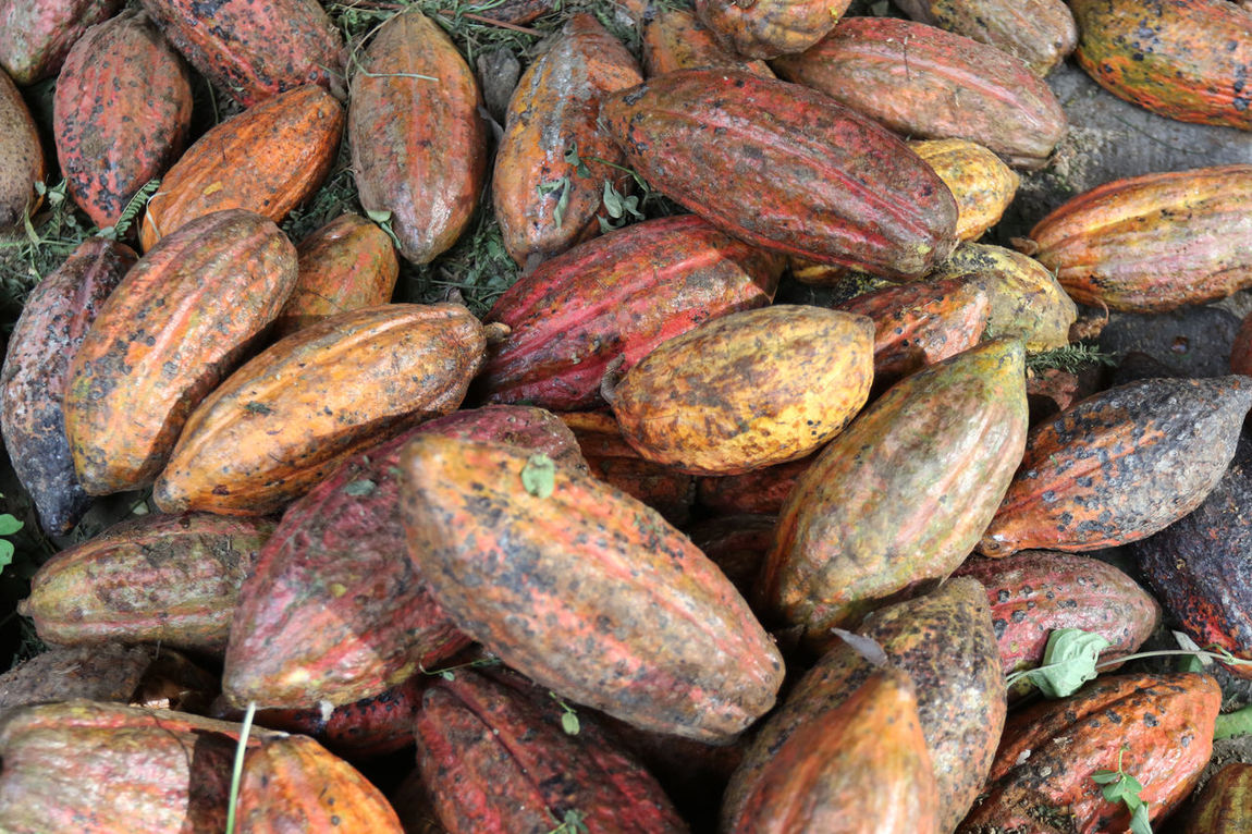 Cacao Backgrounds Beauty And Health Cacao Cacao Beans Cacao Fruit Cacao Nibs Day Food Food And Drink For Sale Fresh Freshness Full Frame Healthy Eating Indonesia Cocoa Large Group Of Objects Market Nature No People Outdoors Pinrang Root Vegetable Still Life Sulawesi Selatan Vegetable
