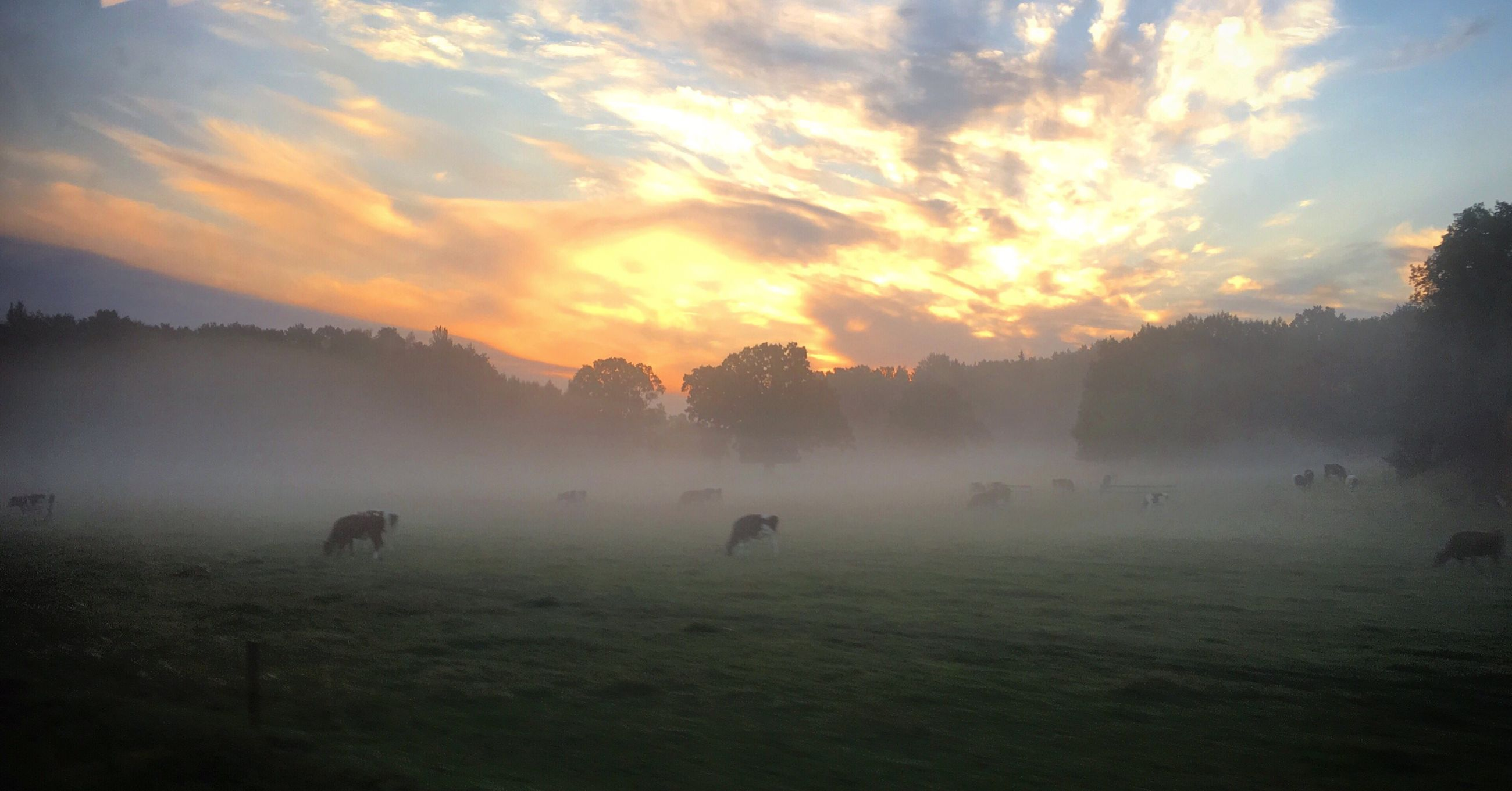 fog, weather, tranquil scene, tranquility, sunset, scenics, beauty in nature, cloud - sky, field, nature, sky, foggy, orange color, cloud, livestock, domestic animals, dramatic sky, cloudy, mist, sunrise - dawn, grassy, atmosphere, non-urban scene, atmospheric mood