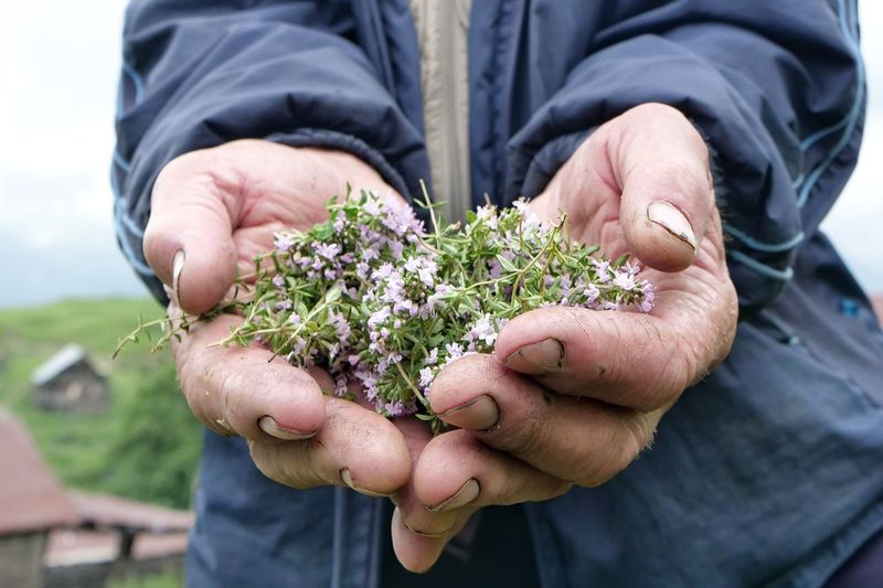 Herbs Holding Human Hand Nature Rural Scene Close-up People Outdoors One Person Midsection Mature Adult Senior Men Day Flowers Georgia Caucasus Mountains Mountain Herbs
