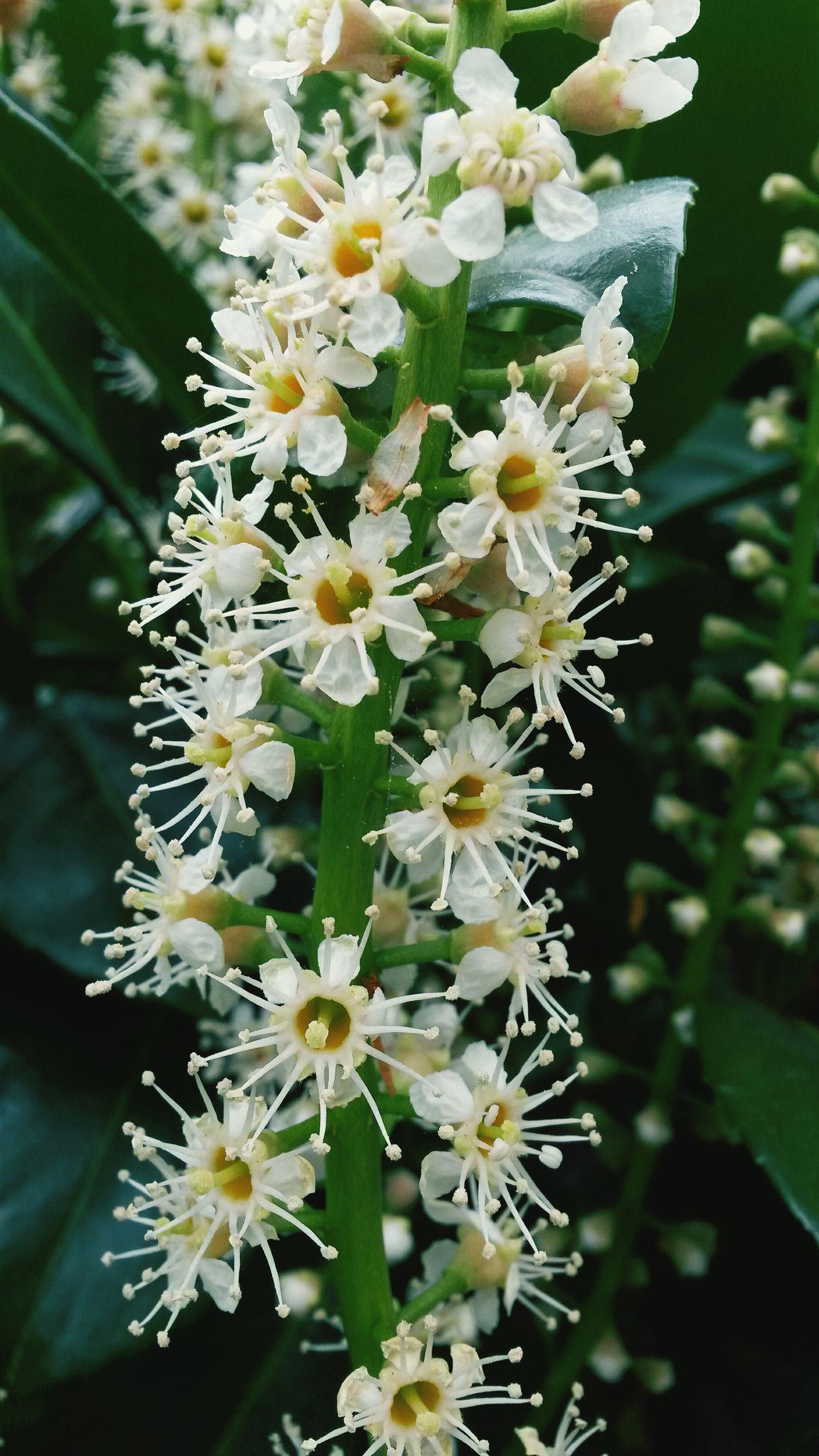 Flowers Garden Laurier cerises