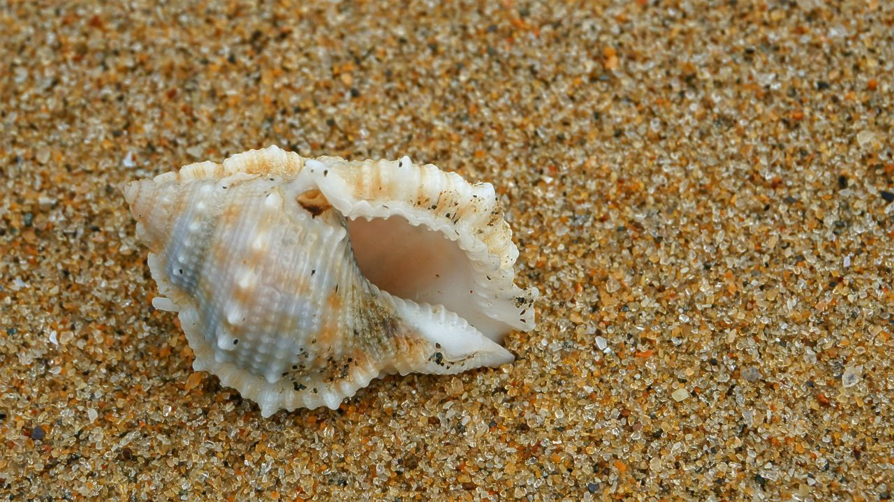 Close-up of single shell on sand. Background Backgrounds Beach Beauty In Nature Close-up Day Grains Of Sand Natural Pattern Nature No People Outdoors Seashell Selective Focus Shell Shore Shoreline Tranquility