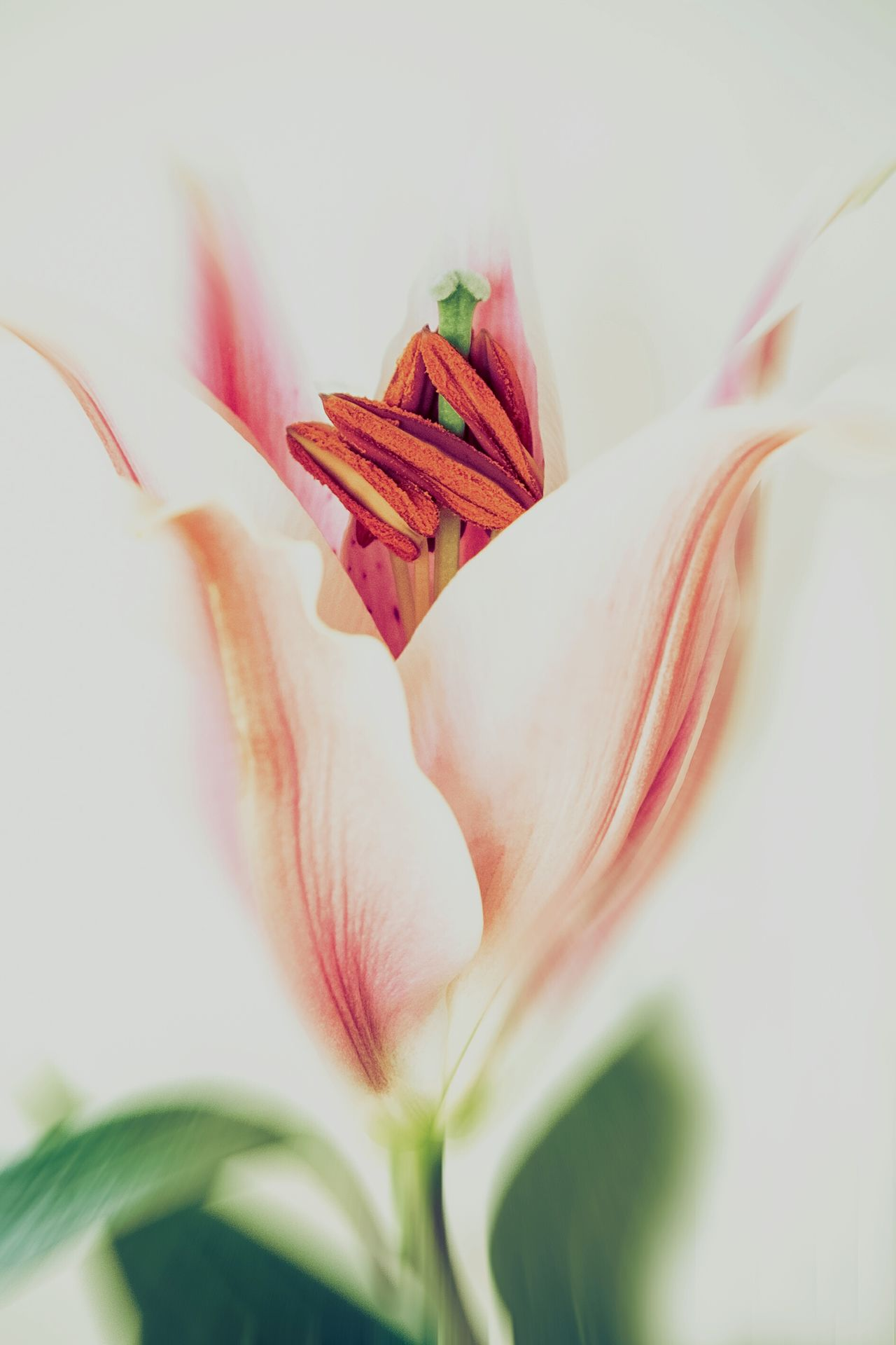 Lily2 Flower Plant Nature Flower Head Close-up Fragility Growth Petal Beauty In Nature Freshness Day Outdoors No People Fine Art Photography Fine Art Lily Lilies Pink Flower Pink Pink Lily Pink Flowers Pink Flower 🌸