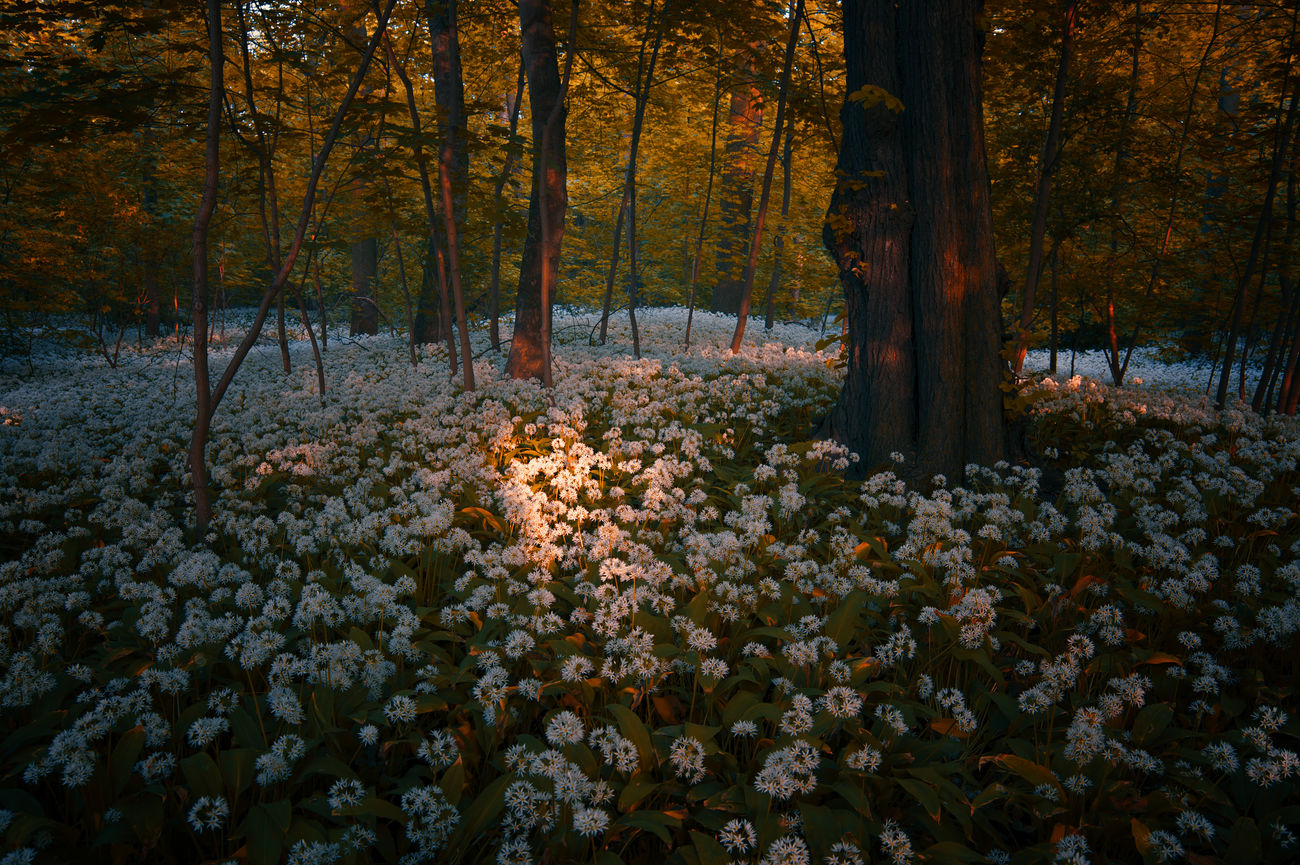 Sea of wild garlic flowers Beauty In Nature Day Flower Forest Freshness Garlic Growth Leipzig Nature No People Outdoors Outdoors Photograpghy  Plant Scenics Sea Of Flowers Sunlight And Shadow Tranquil Scene Tranquility Tree Wild Garlic