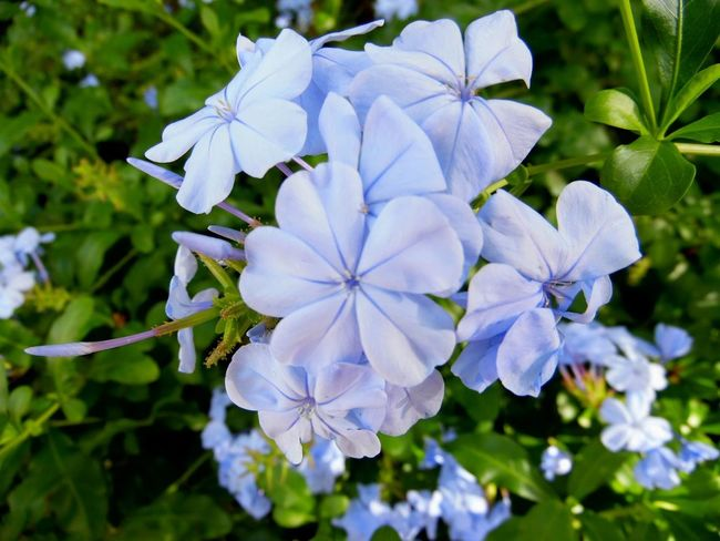 Beauty In Nature Blooming Blossom Blue Flowers Blue Plumbago Botany Close-up Depth Of Field Flower Flower Head Flowers Focus On Foreground Fragility Freshness Garden Growth Nature Nature No People Petal Macro Beauty Selective Focus Spring Spring Flowers Springtime