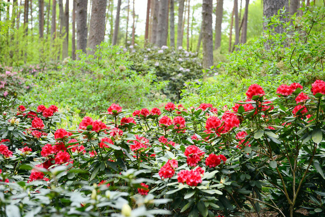 Rhododendron blossom in Gristede park at Springtime (Germany, Schleswig-Holstein) Blossom Blossoms  Day Flower Germany Gristede Growth Nature Outdoors Park Park - Man Made Space Plant Red Red Flower Rhododendron Rhododendron Blossoms Rhododendron Buds Rhododendronblossoms Rhododendroninbloom Rhododendrons Schleswig-Holstein Springtime