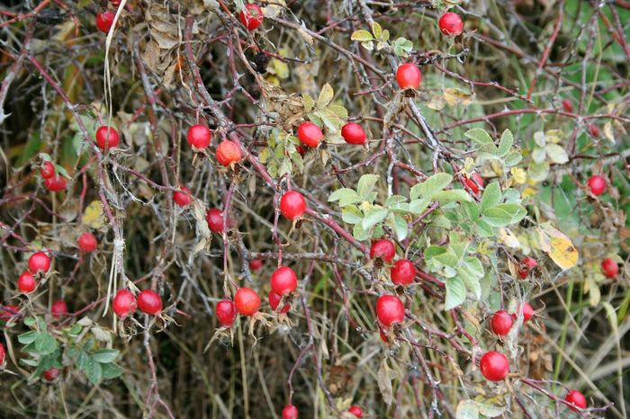 Red Fruit Growth Tree Nature Rose Hip Freshness Close-up No People Outdoors Rowanberry Day Branch Beauty In Nature Red Berries Shrub Roses Green And Red