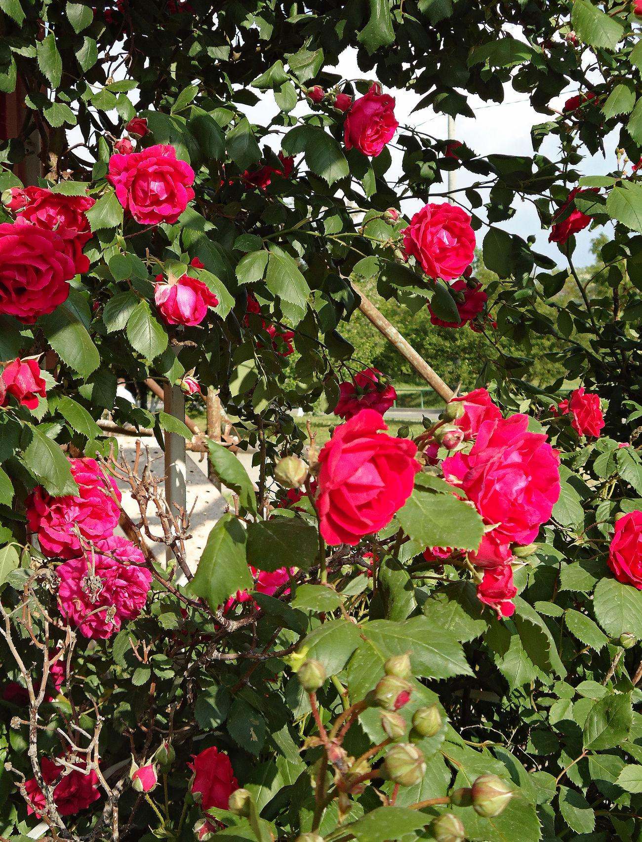 Novorossiysk Roses Blooms Bush Climbers Climbing Climbing Roses Clusters Exuberant Flourishing Flowers Garden Garden Flowers Garden Roses Hedge Lush Foliage Ramblers Rambling Rose Red Roses Rosas Rose Bush Roses Shrubs Spring Flowers Spring May Spring Roses