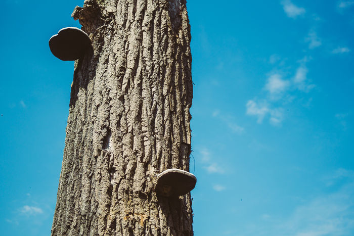 Bark mushrooms on a dead tree Bark Closeup Dead Tree Low Angle View Mushrooms Nature Sky Tree Tree Trunk