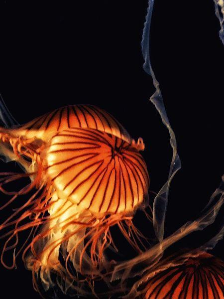 Jelly Fish Jellyfish Jellyfish Gallery