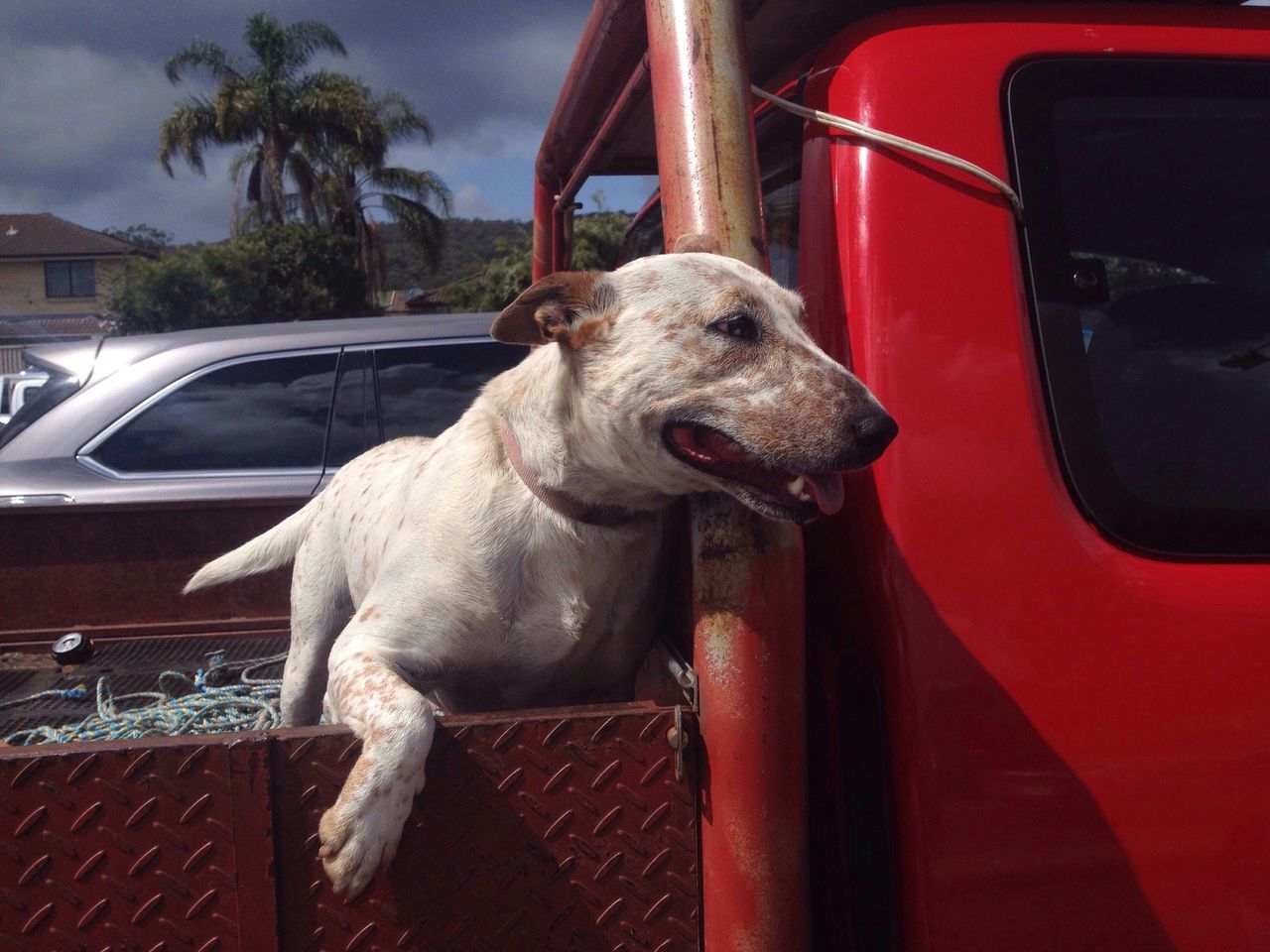 Dog Animal Animal Themes UTE Pets One Animal Domestic Animals No People Red Aussie Mode Of Transport Outdoors Car Lifestyle Cute Pets Tounge Out  Tounge Panting Mammal Pitbull Staffy Adapted To The City