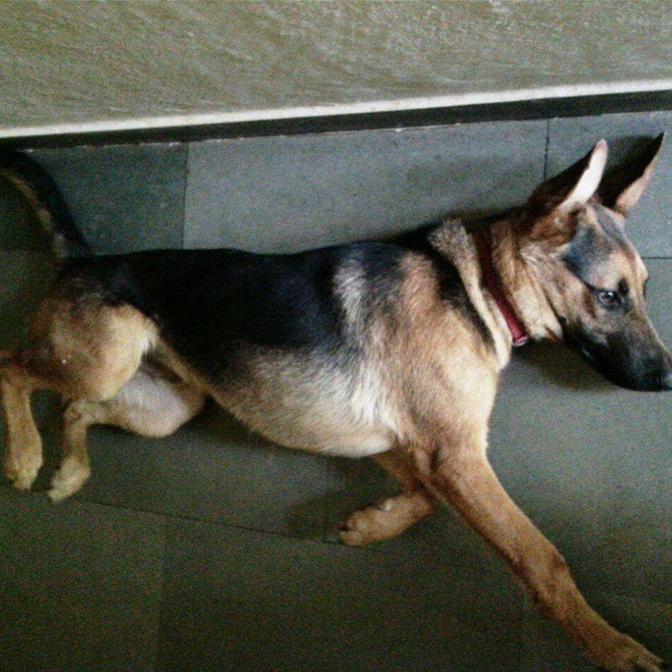 Bagheera GettingBigger Dogsofinstagram BabyPet baby