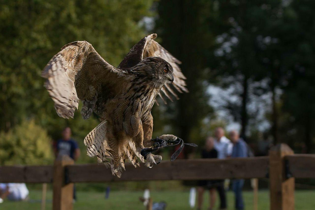 Beautiful stock photos of owl, , Brown, Horizontal Image, alertness