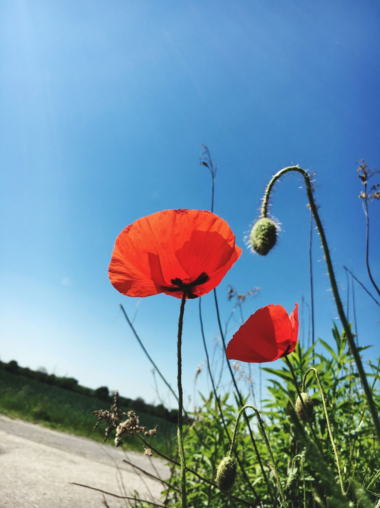 Plant Growth Day Outdoors Red No People Low Angle View Blue Clear Sky Sky Nature Flower Beauty In Nature Freshness Mohn Mohnblume Poppy Poppy Flowers Poppies  Poppy Flower Nature Beauty In Nature