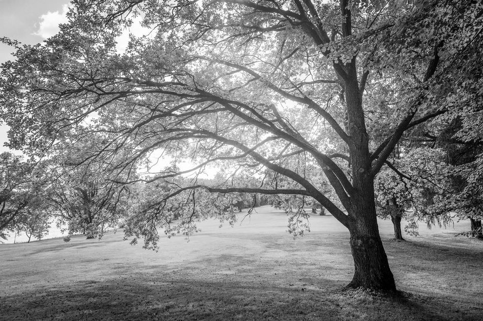 Gigantic tree on black and white summer scene. Bare Tree Beauty In Nature Black And White Black And White Scenery Branch Day Glowing Light Growth Idyllic Scenery Landscape Nature No People Outdoors Scenics Sky Summer Summer Views Sunshine Tranquil Scene Tranquility Tree