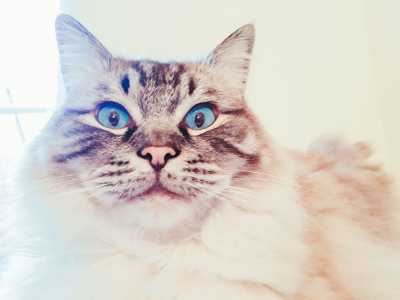 Shocked suprised expressions. Pedigree Ragdoll portrait. Domestic Cat Looking At Camera No People Animal Themes Feline Longhaired Cats Bright Eyes Ragdoll Cat Cute EyeEmNewHere Samsung Galaxy S7 Edge Funny Faces FUNNY ANIMALS Funnypictures Shocked Face SuprisedFace Facial Expression Domestic Animals Beautiful ♥ Catsoftheworld Pet Photography  Stunning Animal Blue Eyes Funnycatface Pulling Faces  Close-up