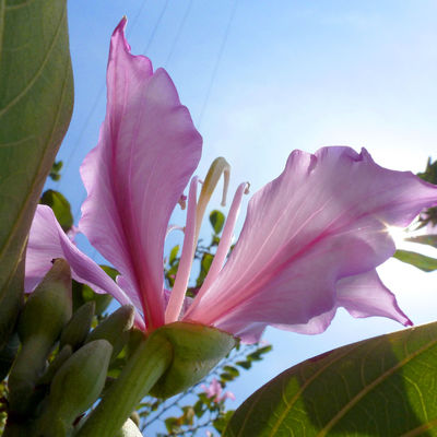 Bauhinia Bauhinia Blossom Blossom Blossom Tree Blossoms  Eye4photography  EyeEm Nature Lover Purple Purple Flower Purple Flowers Purple ♥ Sunlight Through Trees Sun Light Through Flowers Taking Photos Taking Pictures The Beauty Of Nature Tree In Bloom Upward Perspective Upward View Upwards