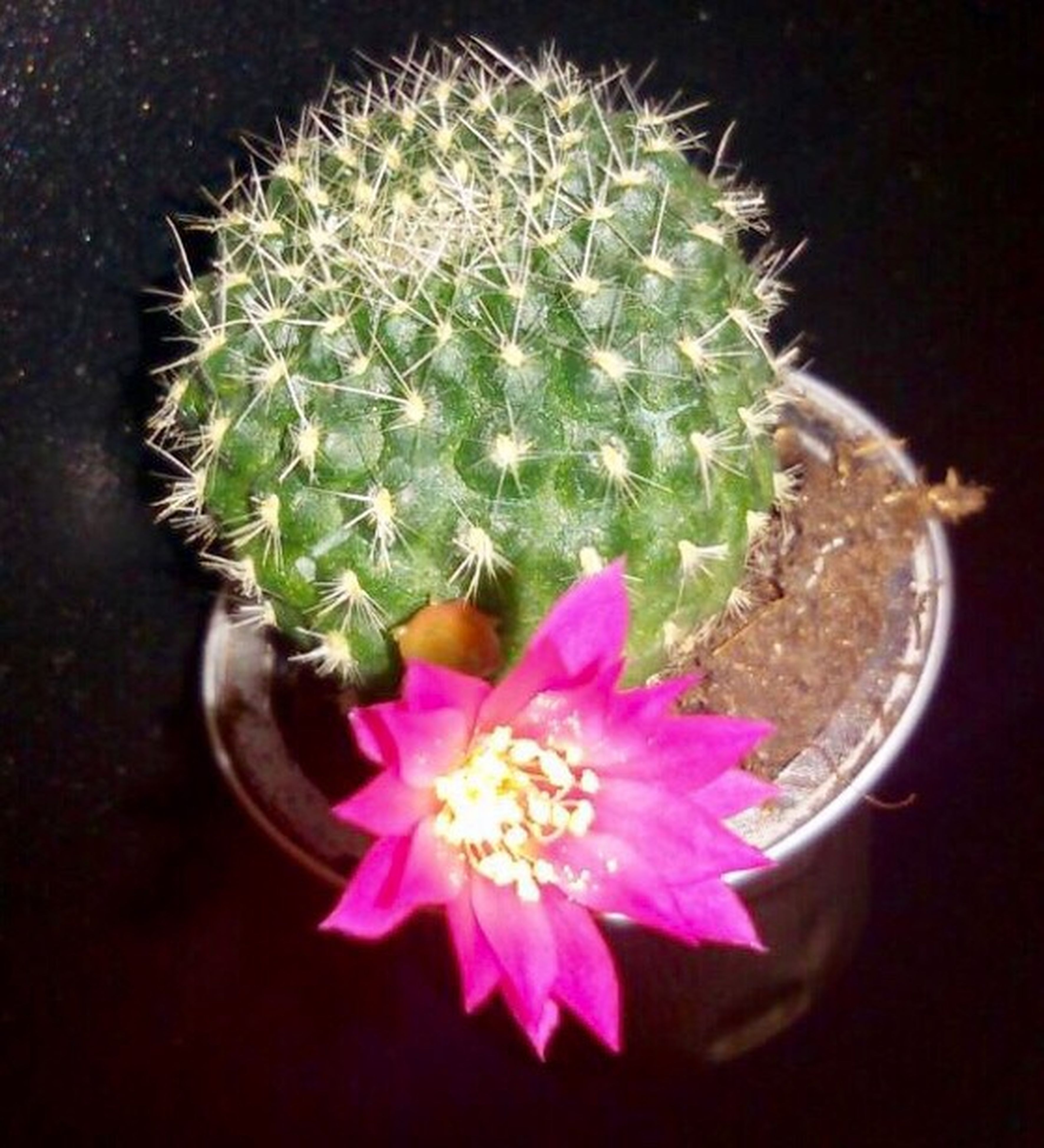 nature, flower, plant, beauty in nature, growth, pink color, thorn, flower head, cactus, close-up, freshness, spiked, no people, fragility, outdoors, day