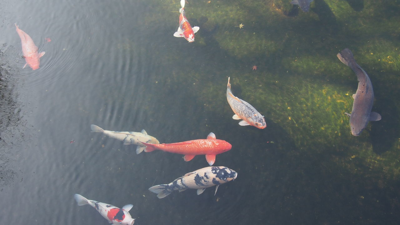 Animal Themes Animals In The Wild Carp Day Fish High Angle View Koi Koi Carp Koi Carps Koi Fish Koi Pond Nature No People Outdoors Swimming Water