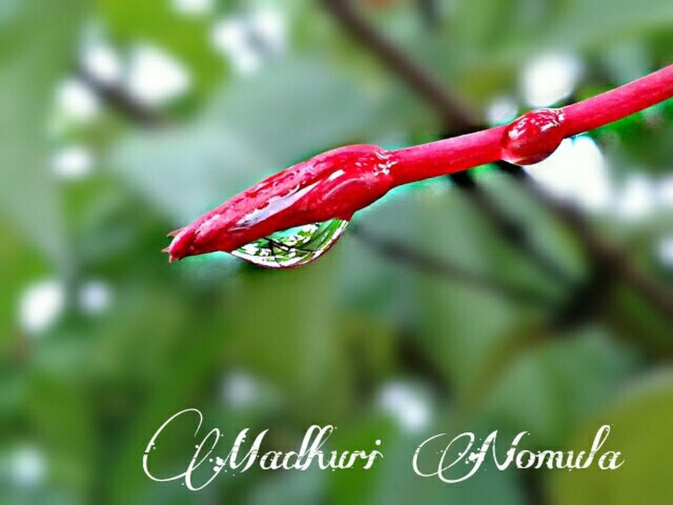 Rain.. Rain Rain Drop Rain Photography Flower Bud Red Flower Bud Rain Drops Rain Drop On Flower Bud Green Background Macro Nature EyeEm Gallery EyeEm Nature Lover Mobilephotography Mobile Photography Red Red Color Beauty In Nature Garden Photography Beauty Of Rain Selective Focus Fine Art Photography