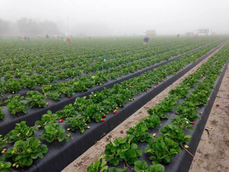 Crew harvesting strawberries for market on a commercial strawberry farm on a foggy morning. Strawberry Strawberries Farm Agriculture Farm Life Field Strawberry Field Beds Plants Fruit Red Green Black Rows Of Things Growth Food Labor In A Row Rural Scene Outdoors Foggy Morning Work