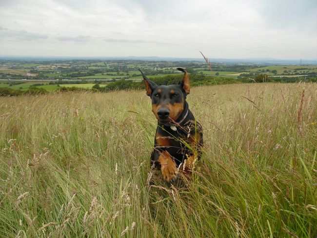 Doberman  Dobermanoftheday Dog Dog Photo Grass Canine Pet Photography  Dobe