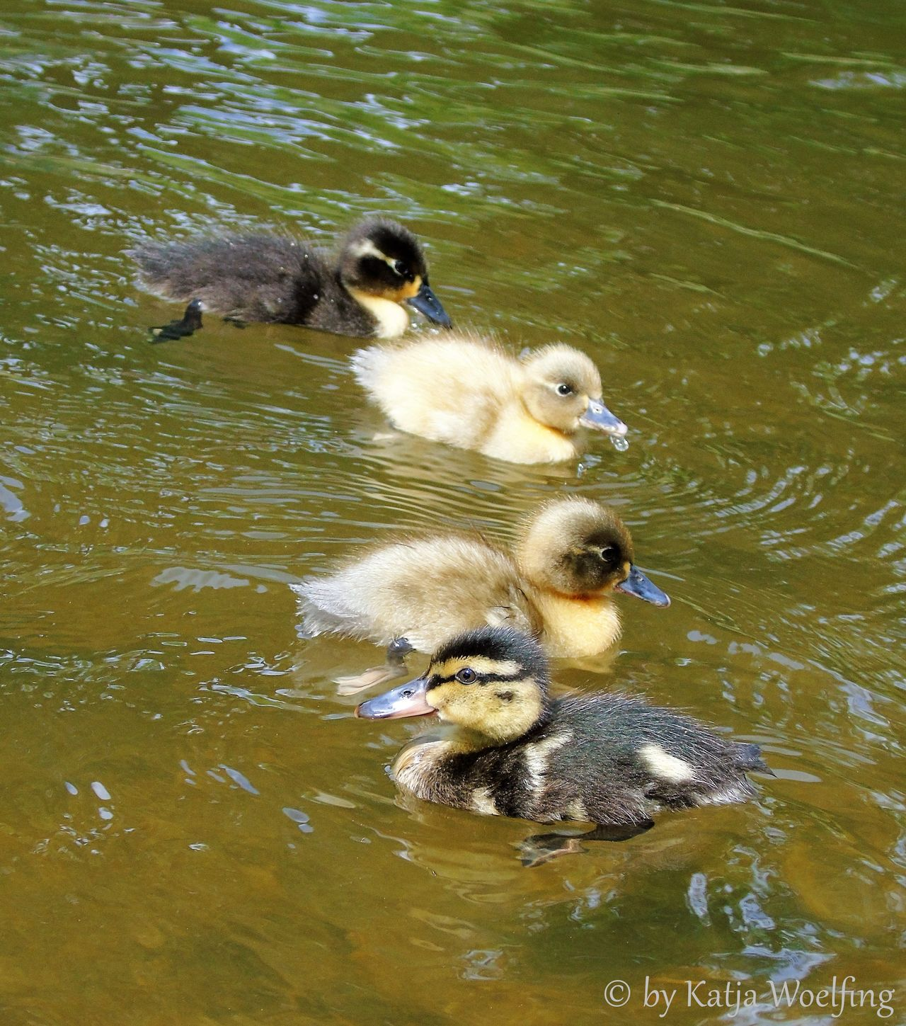 Am Köbogen Animal Themes Duckling Lake No People Outdoors So Sweet But Not To Eat Water Water Bird Young Animal