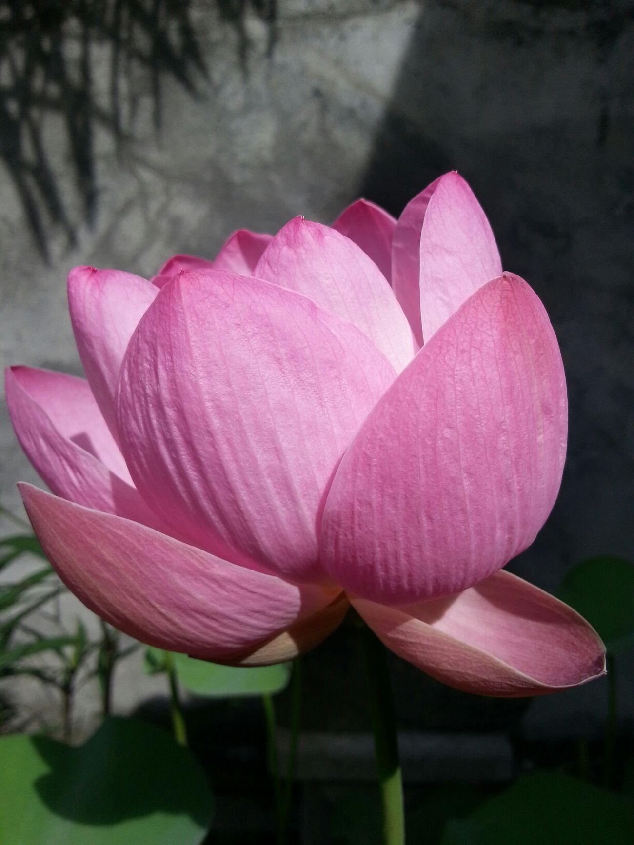 Lotus Flower Bali The Purist (no Edit, No Filter)