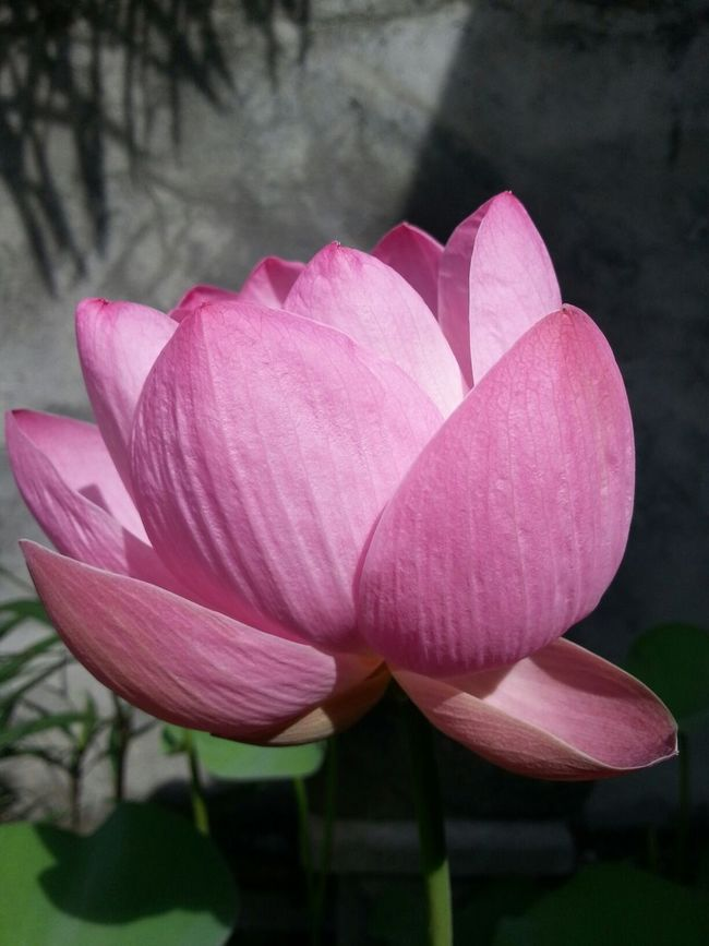 Lotus Flower Bali The Purist (no Edit, No Filter)