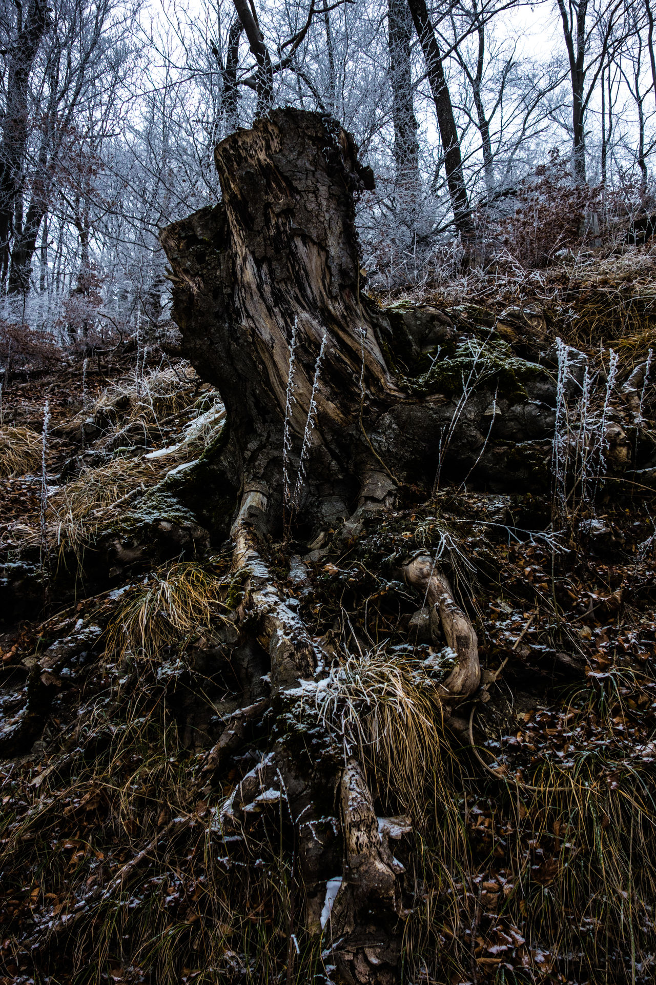 Beauty In Nature Branch Close-up Cold Temperature Day Forest Grass Knaggy Knobbed Knotty Wood Landscape Nature No People Outdoors Sky Snag Stump Tranquility Tree Tree Trunk Winter Trees WoodLand