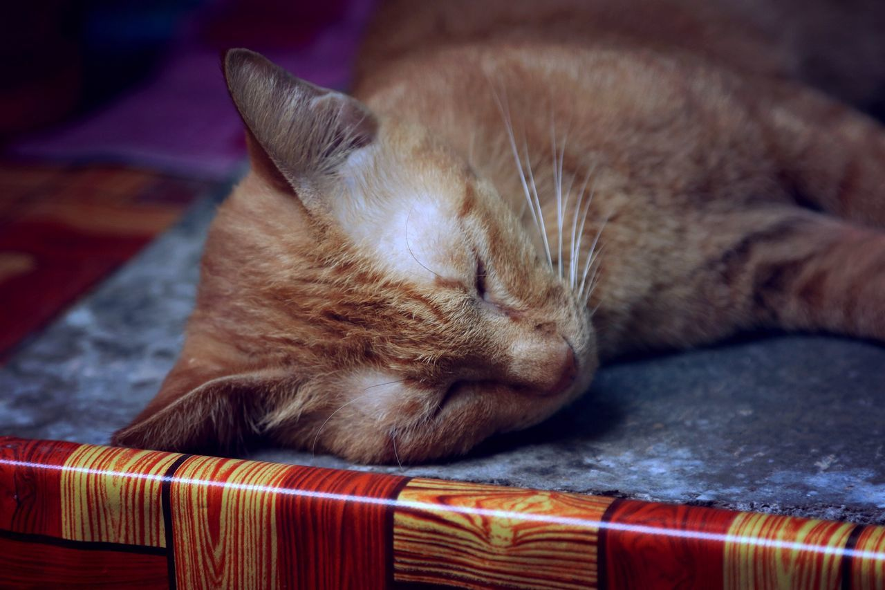 domestic cat, one animal, pets, animal themes, domestic animals, mammal, feline, sleeping, no people, indoors, whisker, close-up, eyes closed, lying down, relaxation, ginger cat, day