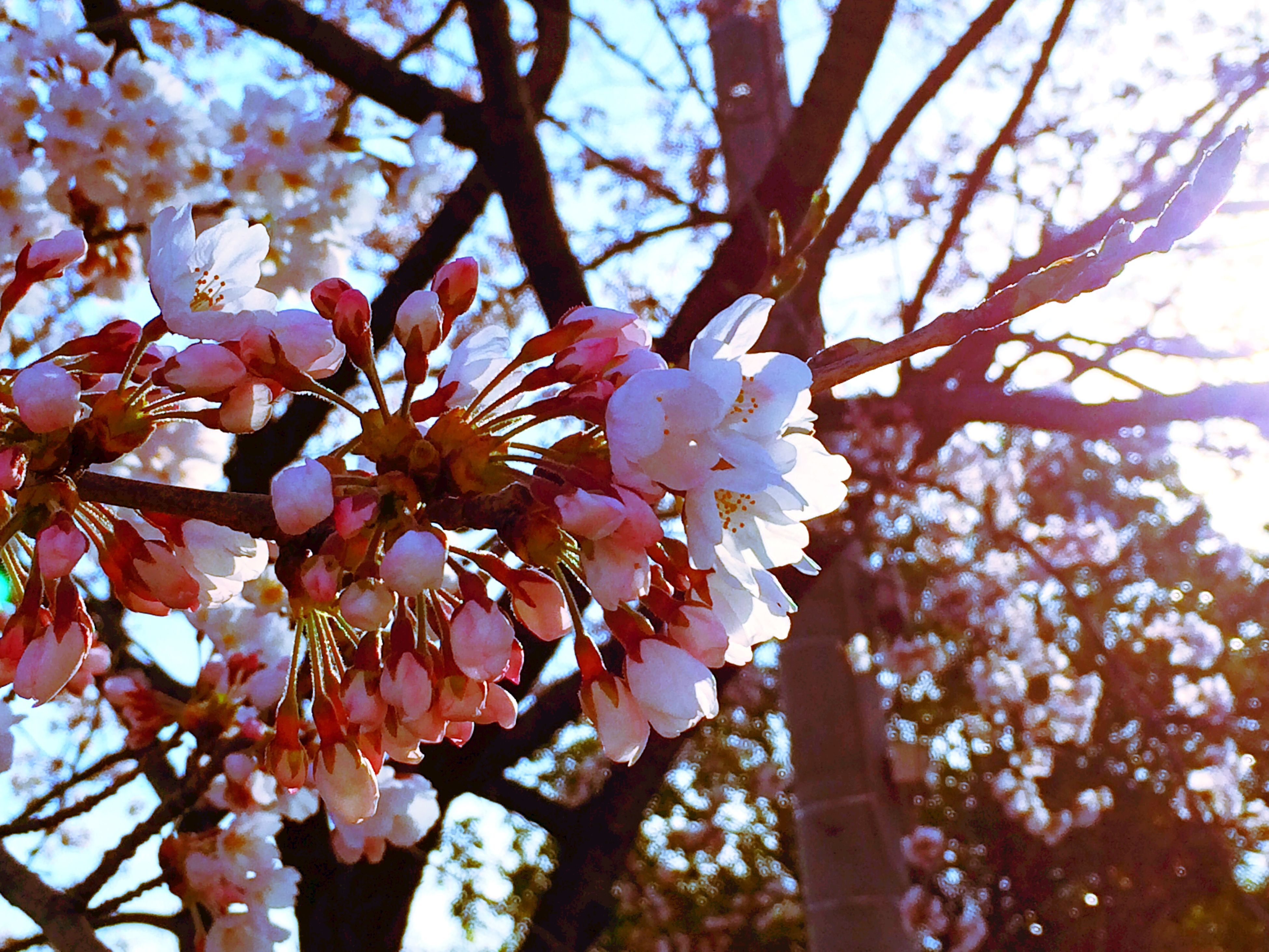flower, freshness, branch, low angle view, tree, fragility, growth, beauty in nature, cherry blossom, blossom, nature, petal, in bloom, cherry tree, sky, springtime, blooming, close-up, focus on foreground, flower head