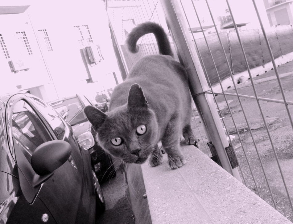 Cat Certosini Day One Animal Outdoors Pets Street Cat What Do You Want?